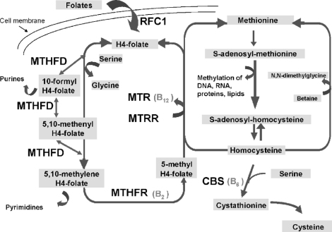 The homocysteine and folates metabolic pathway. The enzymes encoded by genes investigated in the present study are indicated. MTHFR: methylenetetrahydrofolate reductase; MTRR: methionine synthase reductase; MTR: methionine synthase; CBS: cystathionine-beta-synthase; RFC1: reduced folate carrier 1; MTHFD: methylenetetrahydrofolate dehydrogenase; B12: vitamin B12; B2: vitamin B2; B6: vitamin B6.